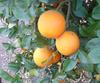 Citrus_citrange